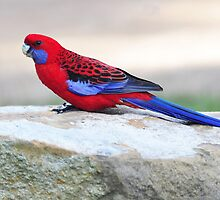Crimson Rosella - Watagan Mountains by Alwyn Simple