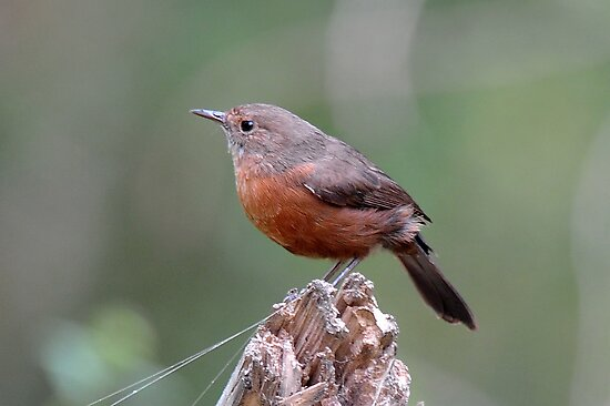 Rock Warbler - Capertee Valley (Glen Davis) by Alwyn Simple