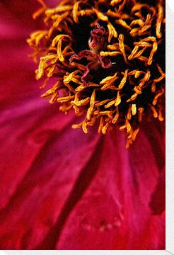 Tree Peony  macro by Karen  Betts
