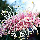 Pink Grevillea by Bevlea Ross