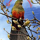King Parrot in Magnolia Tree Greeting by Bev Pascoe