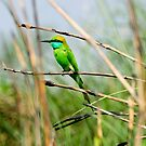 Green Bee Eater bird by srijanrc