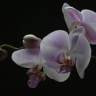 Phalaenopsis Orchid by AndrewWright50