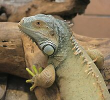 Iguana by Karen K Smith