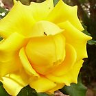 'Gold Bunny' a beautiful climbing rose. by Rita Blom