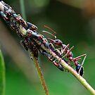 The ant & eurymelids by trevorb
