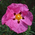 Pink Rock Rose by Babz Runcie
