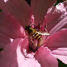 Bee on Pink Clematis by Babz Runcie