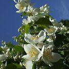 Bright White Philadelphus II by Babz Runcie