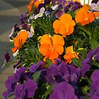 Pansy and Viola Windowbox by Babz Runcie