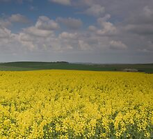 Rape Seed Fields Chiltern Hills Oxfordshire by Jim Hellier