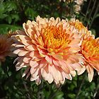 Chrysanthemum at Harmony Garden by Babz Runcie