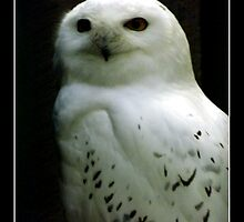 Snowy Owl by Rose Santuci-Sofranko