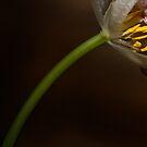 Tulip III by Mary Ann Reilly