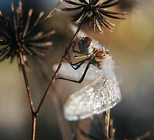 Frozen Dragonfly TWO... Free State, South Africa by Qnita