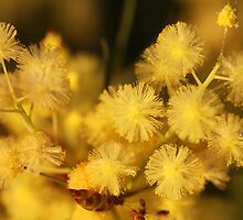 Golden Wattle by aussiedi