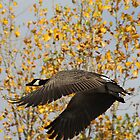 Canadian Goose in Autumn by Alyce Taylor