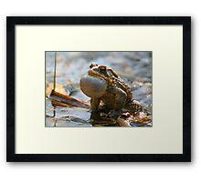 American Toad Croaking Framed Print