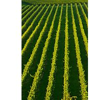 The Mission Vineyard Photographic Print