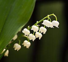 Lily of the valley by Justine Gordon