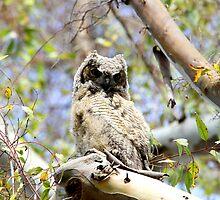 Owl Up High in a Tree by DARRIN ALDRIDGE