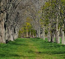Tree lined path by john forrant