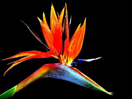 Bird of Paradise Flower by Steve