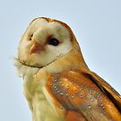Barn owl by Steve