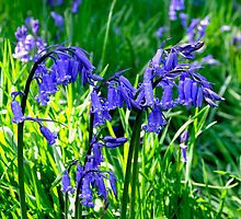 Bluebell Cluster by Rod Johnson