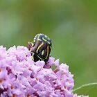 Fiddle Beetle, Eupoecila australasiae 2 by Trish Meyer
