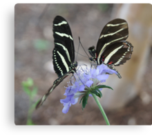 Zebra Longwing Butterflies... Canvas Print