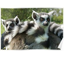 HEADS AND TAILS - RING-TAILED LEMUR (Lemur catta)  Poster