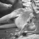 Kangaroo - Cudlee Creek Wildlife Park, South Australia by Dan & Emma Monceaux