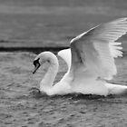 Mute Swan Monochrome by Nigel Tinlin