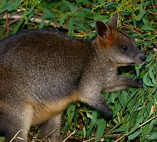 Wallaby by Arthur Koole