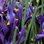 Wild Iris' by chrstnes73