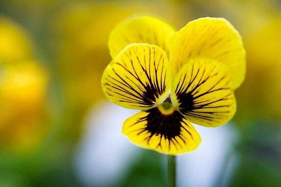 Tiger Eye Viola by Lucy Hollis
