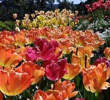 Spring Tulips Abound by Patty Boyte