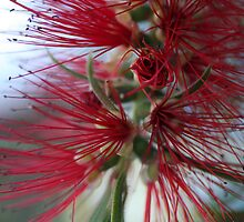 Bottle Brush by aussiedi