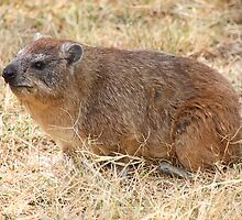 Rock Hyrax or Rock Dassie, Serengeti, Tanzania.  by Carole-Anne