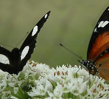 """Hypolimnas misippus"" & Danaus chrysippus"" Dining together by Qnita"