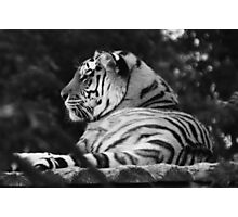 Peaceful Tiger Photographic Print
