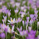 Early Crocus Flowers (5) by Gary Rayner