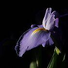 Iris by chrstnes73