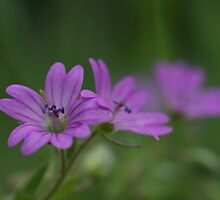 Dove's-foot Crane's-bill by marens