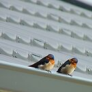 Welcome Home Honey! - Swallows - Dunedin NZ by AndreaEL