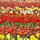 Tulip Flower Festival art Field of Tulips Baslee Troutman by BasleeArtPrints