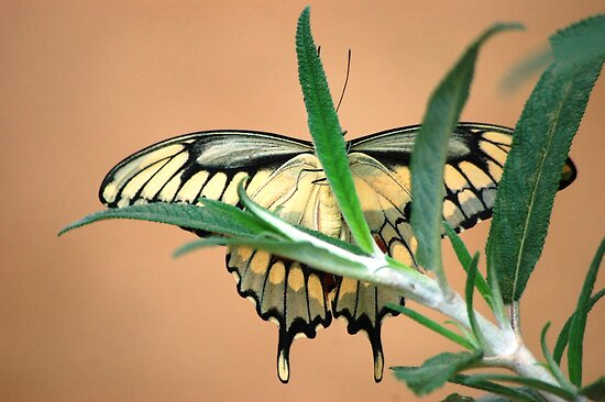 Butterfly XX  (Anise Swallowtail) by loiteke