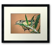 Butterfly XX  (Anise Swallowtail) Framed Print