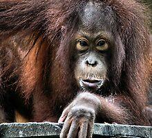 You Looking At Me?? Orangutan, Sepilok, Borneo  by Carole-Anne